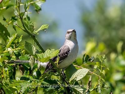 Virginia-Birds-June-20177115