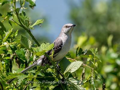 Virginia-Birds-June-20177118