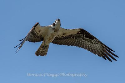 Virginia-Birds-June-20177012