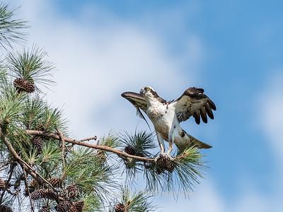 Virginia-Birds-June-20177401