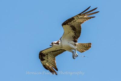 Virginia-Birds-June-20177057