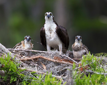 Osprey and Juvenile's
