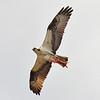Osprey<br /> (fish hawk)