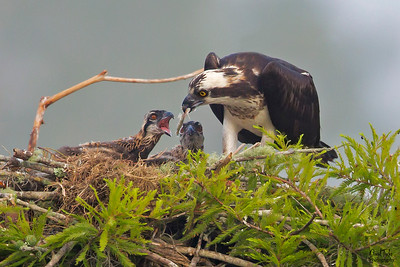 Osprey and Chick's