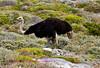 Close up of male Ostrich in cape preserve