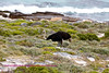 Male ostrich in the Cape Peninsula Reserve. Note the south Atlantic in background.