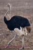 ostrich 7a
