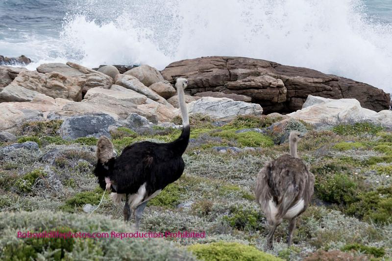 Male and Female in the Cape Preserve