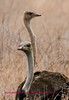 ostrich 8a
