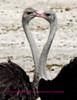 ostrich heart 2
