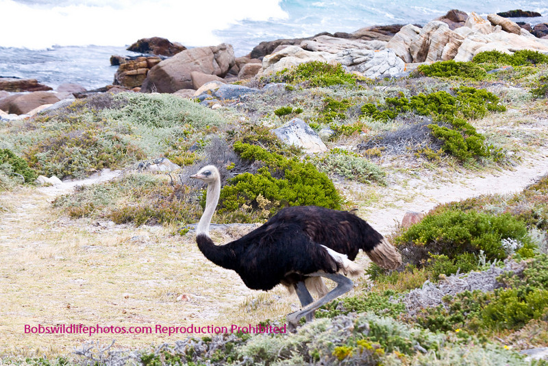 Male ostrich in the Cape Preserve.