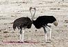 ostrich heart
