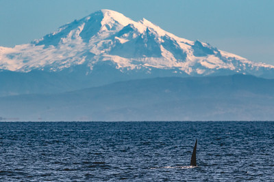 Male Orca in front of Mount Baker