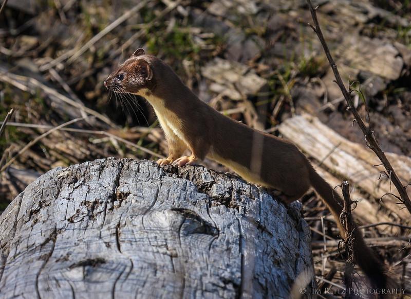 Least Weasel near La Conner, Washington