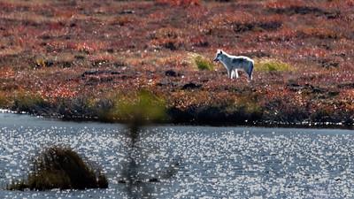 Wolf pup - Nunavut Territores, Canada