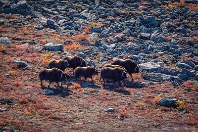 Musk Ox - Nunavut Territories, Canada