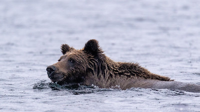 Wetter than the average bear! Grizzly swimming the 1km crossing from an island in Ennadai Lake, Nunavut Territories.