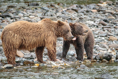 Mother's Day brunch! Mom grizzly and yearling cub feeding on salmon, along the Nakina River in northern B.C.