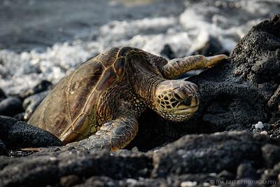 Green Sea Turtle (Honu) - Mauna Lani