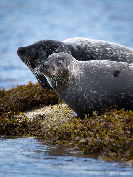 Seals - near Isle of Mull, Scotland