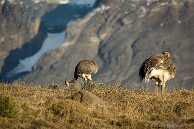 Some Rheas - large flightless birds - in Torres del Paine national park in Patagonia, Chile.