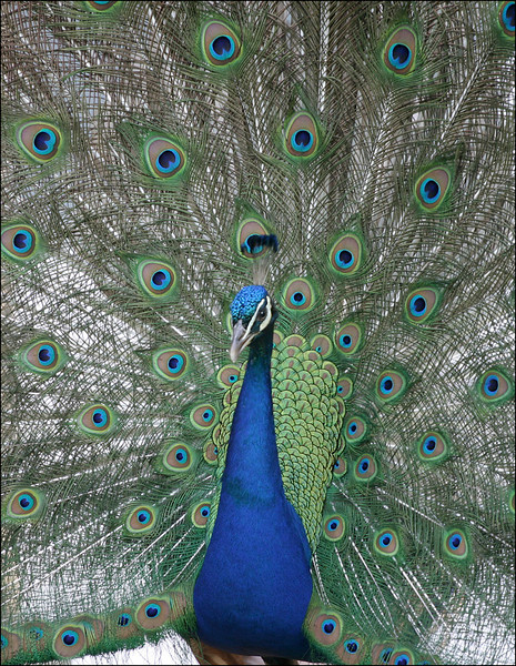 Peacock, Castle Howard, Yorkshire