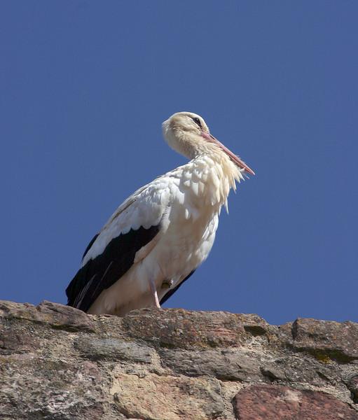 Stork, Silves, Portugal