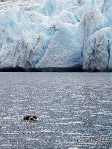 Harbor seal near Ailiak Glacier.