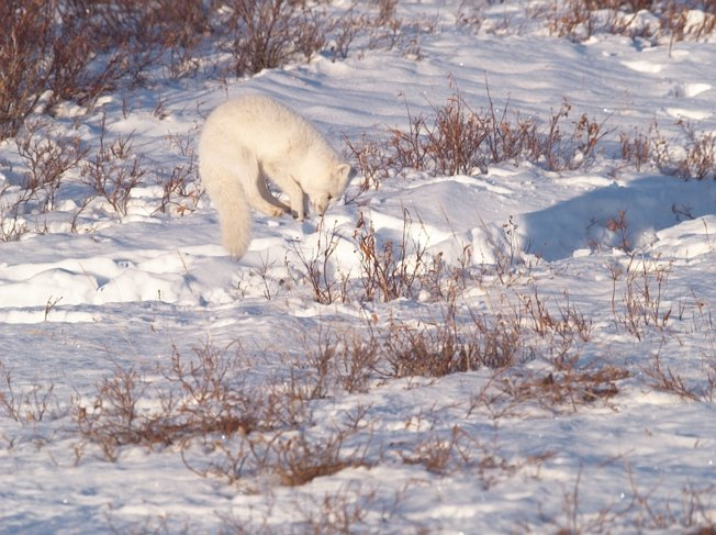 Arctic fox jumping to break snow top and eat lemmings.