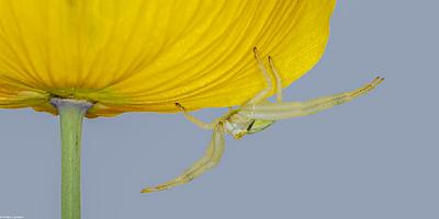 Crab Spider on Poppy
