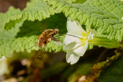 Bee Fly Feeding on Primrose