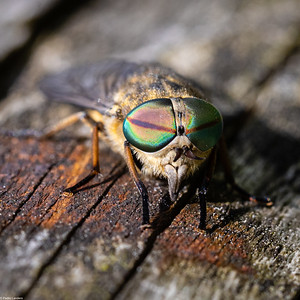 Another Horsefly