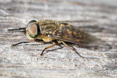 Band-eyed Brown Horsefly