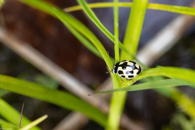 14 Spot Ladybird