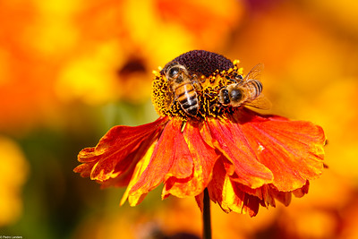 Helenium and Bees