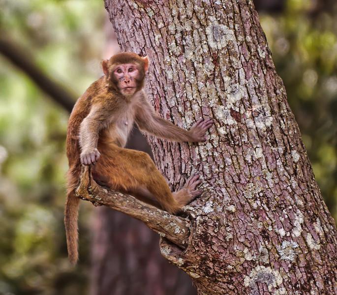 """""""Lookout #1""""<br /> Rhesus Monkey<br /> Monkey Island, SC"""