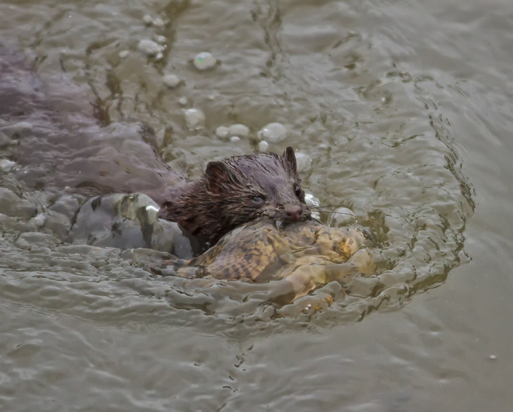 Mink returning to his nest with dinner<br /> Coffin Creek<br /> St. Helena Island, SC