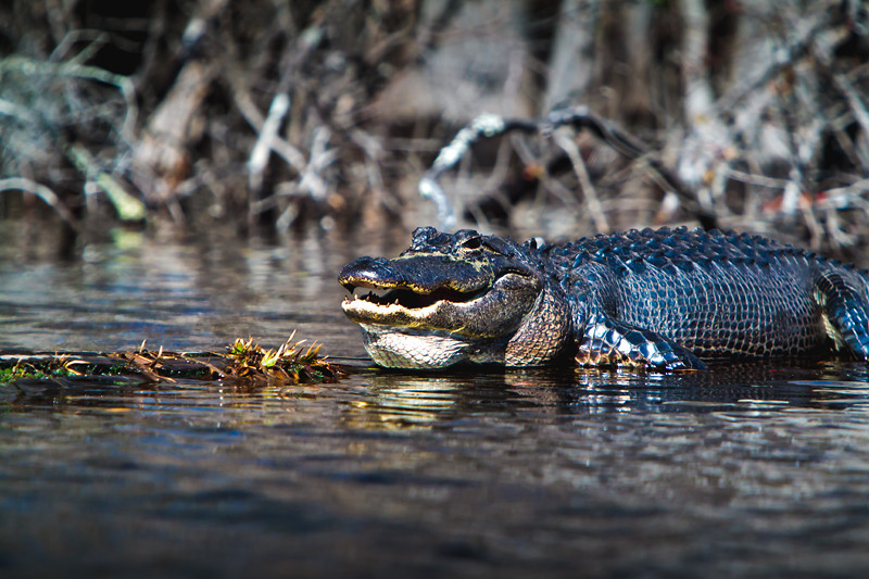 """Smile""<br /> Alligator<br /> Okefenokee Swamp<br /> Folkston, GA"