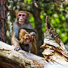 Rhesus Monkey and her baby<br /> Monkey Island, SC