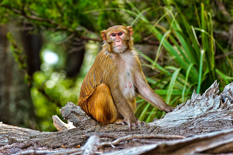 """Posing""<br /> Rhesus Monkey<br /> Monkey Island, SC"