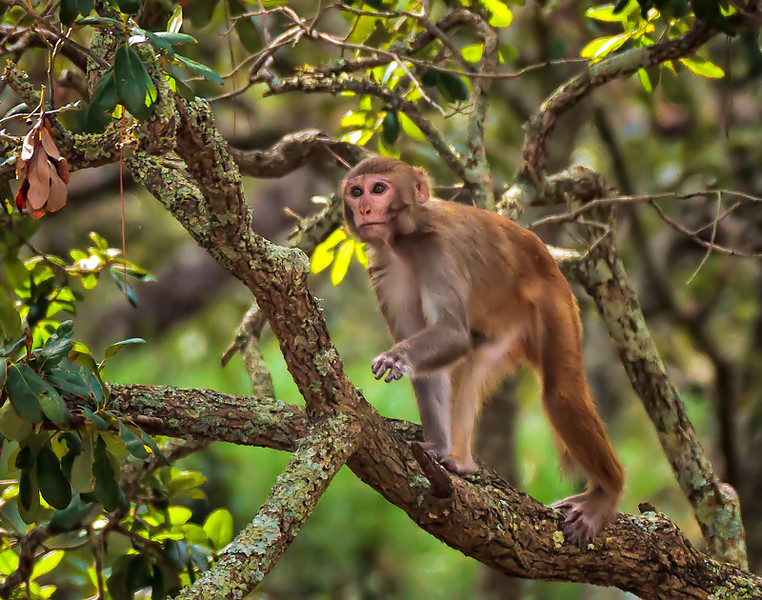 """""""Foraging""""<br /> Rhesus Monkey<br /> Monkey Island, SC"""