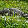 """Big Boy""<br /> Alligator<br /> Donnelley Wildlife Management Area<br /> Green Pond, SC"