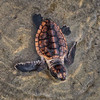 Loggerhead Sea Turtle hatchling - crawling from the nest to the ocean<br /> and headed to the Sargasso Sea<br /> Harbor Island, SC