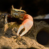 Fiddler Crab<br /> Johnson Creek<br /> Hunting Island, SC