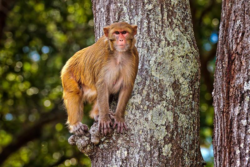 """""""Lookout #2""""<br /> Rhesus Monkey<br /> Monkey Island, SC"""