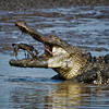 American Alligator Feeding on a Blue Crab<br /> Donnelley Wildlife Management Area<br /> Green Pond, SC