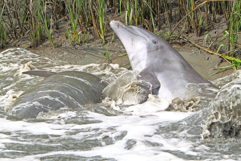 Dolphin Strand Feeding<br /> Calibogue Sound<br /> Hilton Head Island, SC