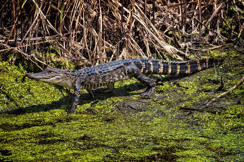American Juvenile Alligator<br /> Donnelley Wildlife Management Area<br /> Green Pond, SC