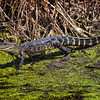 American Juvenile Alligator<br /> Donnelley Wildlife Management Area<br /> Green Pond, SC