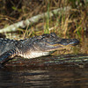 """The Pose""<br /> Alligator<br /> Silver Springs, FL"